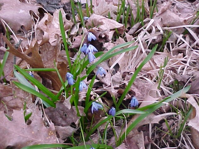 Bluets, first flowers of the season